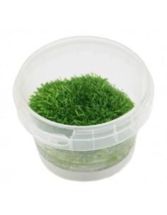 Utricularia graminifolia in vitro cup