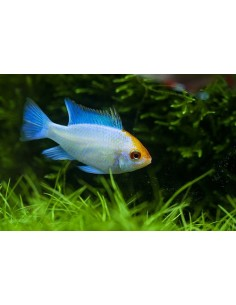 Ramirezi Electric Blue - MICROGEOPHAGUS RAMIREZI