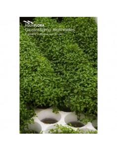 Glossostigma elantinoides - 2101615