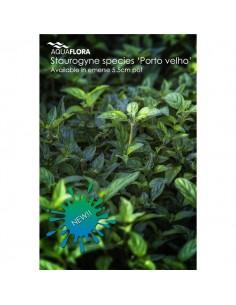 Staurogyne species Porto Velho - 2101683