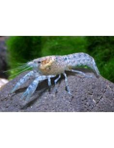 Cambarelus Diminitus Azul