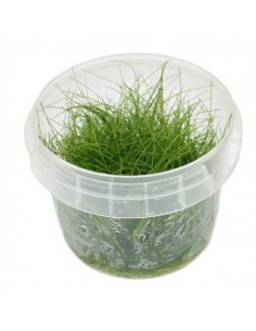 "Eleocharis sp. ""mini"" in vitro cup"