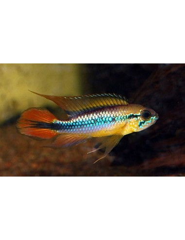 Apistogramma Agassizii Double Red - 2101417