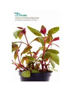 Alternanthera lilacina - 2101518