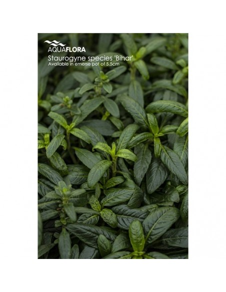 Staurogyne species - 2101681