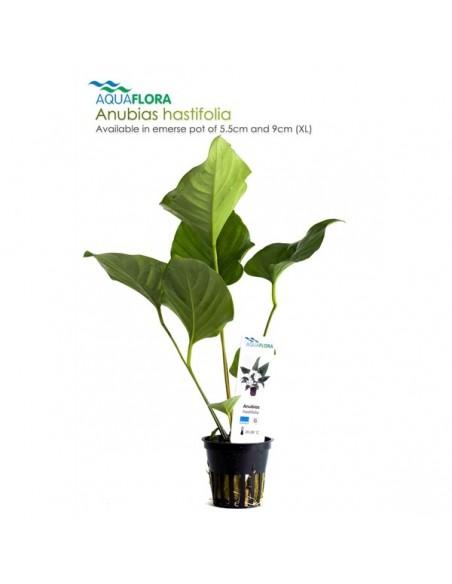 Anubias hastifolia - 2101533