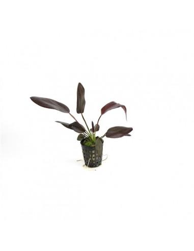 Echinodorus Aflame - 2101575