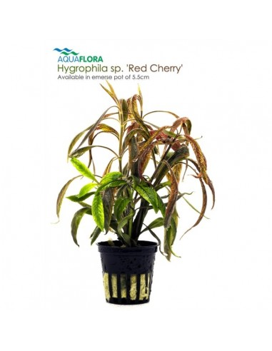 Hygrophila sp. Red Cherry - 2101627