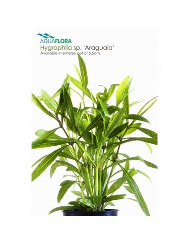 Hygrophila sp. Araguaia - 2101625