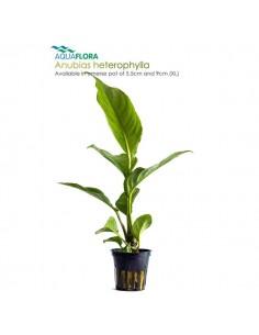 Anubias heterophylla - 2101534