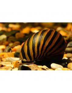Caracol Zebra - 2102641