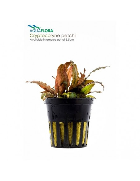 Cryptocoryne petchii - 2101565