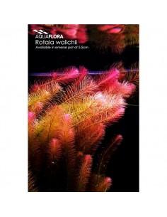 Rotala walichii - 2101676