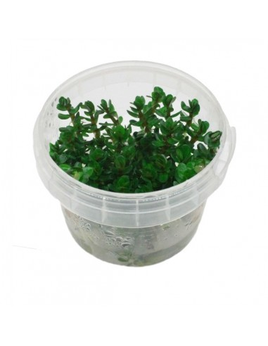 Ammania sp. Bonsai / Rotala indica In vitro Cup - 2101793