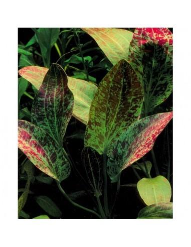 Echinodorus Green Flame - 2101581