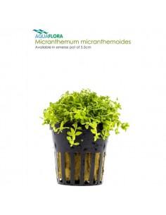 Micranthemum micranthemoides - 2101648
