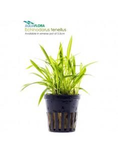 Echinodorus tenellus - 2101608
