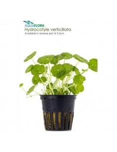 Hydrocotyle verticillata - 2101620