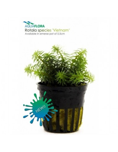 Rotala species Vietnam - 2101675