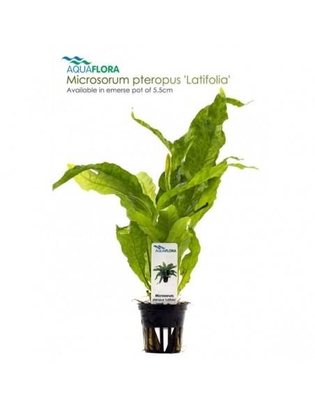 Microsorum pteropus Latifolia - 2101652