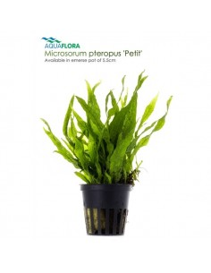 Microsorum pteropus Petit - 2101653
