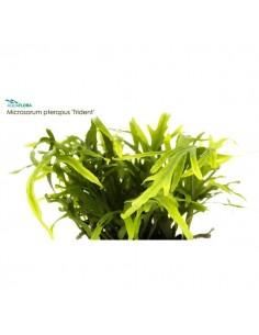 Microsorum pteropus Trident - 2101654