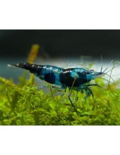 Neocaridina Blue Carbon Rili - 2103335