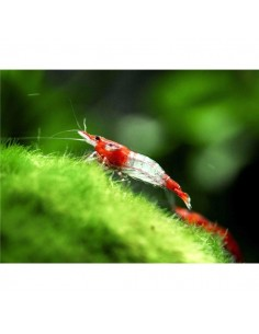 Neocaridina Red Rili - 2103539