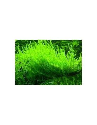 Vesicularia Reticulata - 2103585