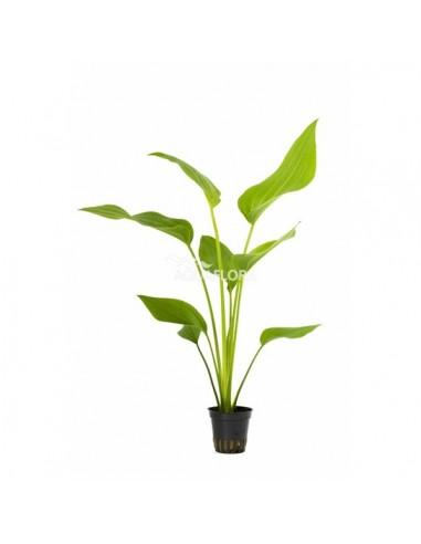Echinodorus argentinensis - 2101576