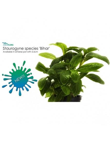 Staurogyne species Bihar - 2101682