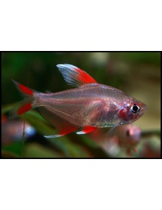 Hyphessobrycon Ornatus - 2103428