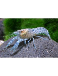 Cambarelus Diminitus - 2103901