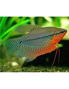 Trichogaster Leeri - 2103976