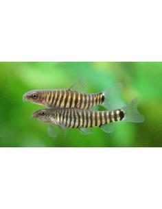 Yunnanilus Chrosomus - 2104409