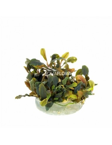 Anubias Nana Bonsai - in vitro cup - 2104425