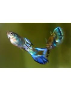 Guppy Macho Blue Sapphire - 2104415