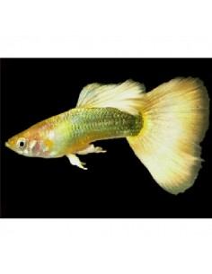 Guppy Femea Blond Metalico - 2104459