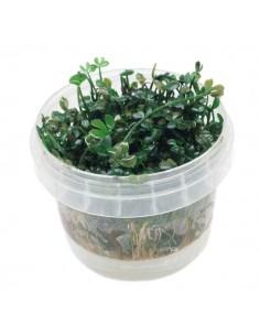 Marsilea crenata in vitro cup - 2101183