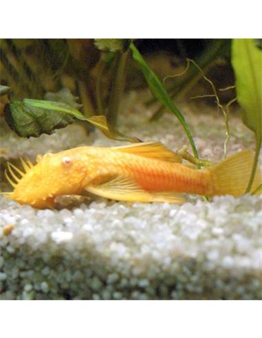 Ancistrus Albino - 2103190
