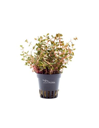 Rotala rotundifolia Orange Juice - 2104486