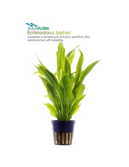 Echinodorus bleheri - 2101578