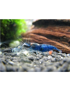 Neocaridina Blue Dream - 2102643