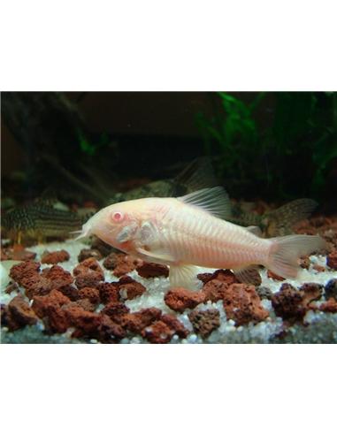 Corydora Albina - 2100610