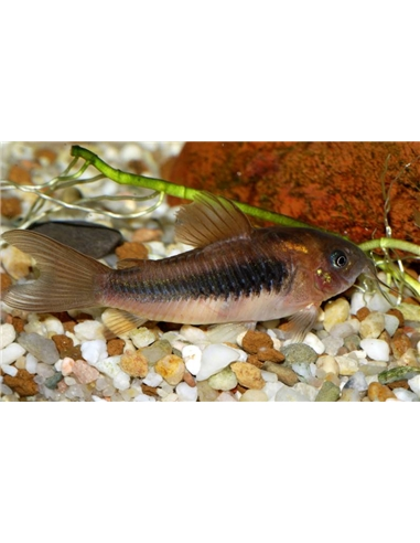 Corydora Bronze - 2100611