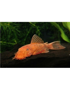 Ancistrus Red Brown - LDA 16 - 2100604