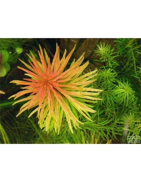 Ludwigia inclinata Cuba In Vitro cup - 2104522