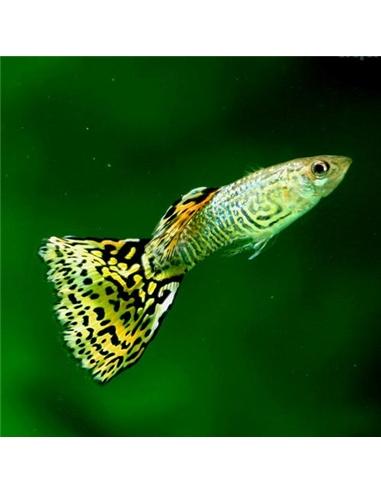 Guppy Macho Leopardo  - POECILIA RETICULATUS - 2104542
