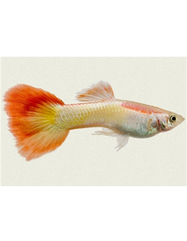 Guppy Macho Flame - 2102934