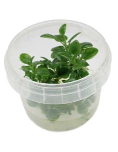 Lobelia cardinalis Mini in vitro cup - 2104550